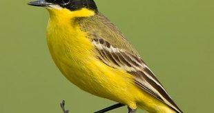 صوت الذعرة الصفراء اصوات طائر الذعره