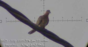 رماية حمامة فاختة النخيل سلق hn25 زوم 30